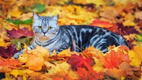 Cat with gamboge eyes between autumn leaves. @PatFurstenberg