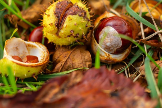 Maroons Autumn's chocolates, chestnuts on forest floor