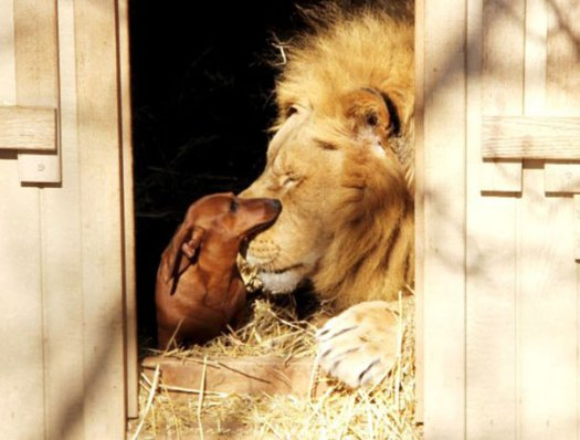 5 Incredible Animals Friendships Now as Story Books, the lion and the dog