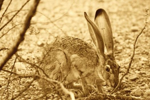 Why Rhino is Grumpy and Hippo is mad at Hare , African hare