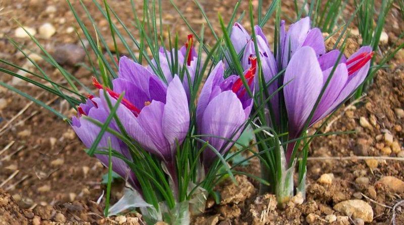 Crocus sativus - Alluringrecipes.com