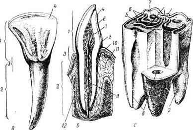 Особенности строения ротовой полости человека кратко. Ротовая полость