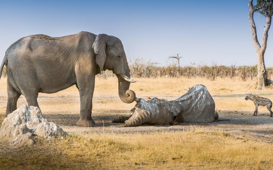 El duelo en los animales: el caso del elefante