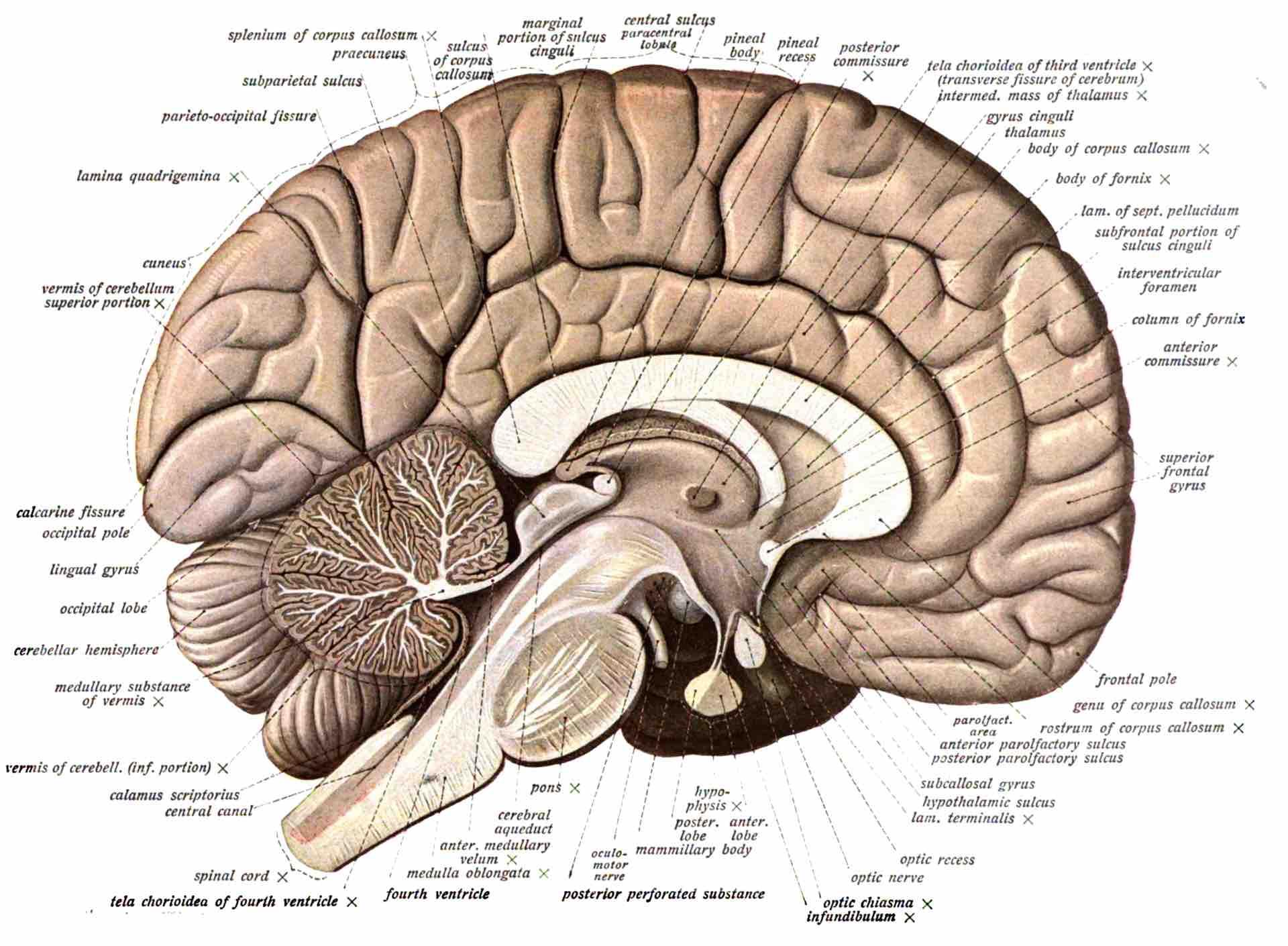 Schéma légendé d'un cerveau