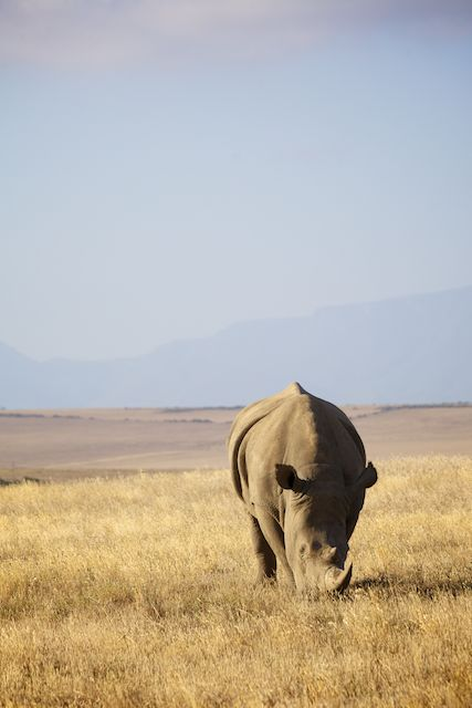 Female white rhino, Albertinia, South Africa  (c) Allyson Scott