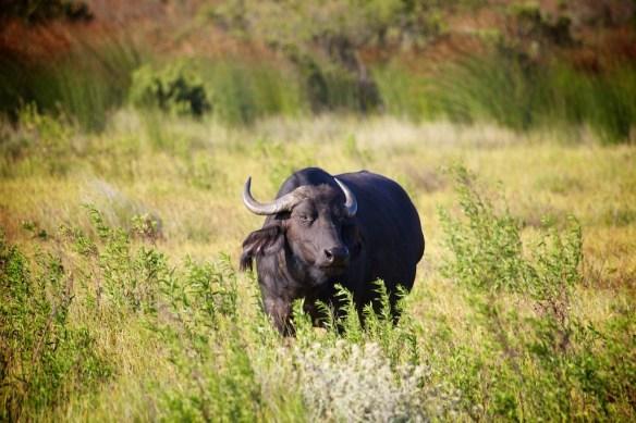 Cape buffalo  (c) Allyson Scott