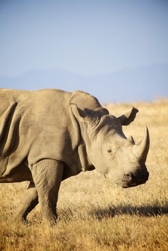 Young female white rhino  (c) Allyson Scott