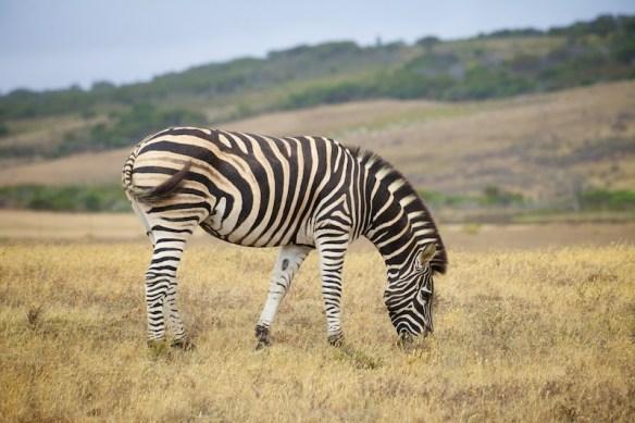 Zebra  (c) Allyson Scott