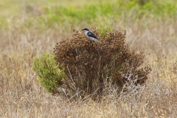 Butcher bird (fiscal shrike)  (c) Allyson Scott