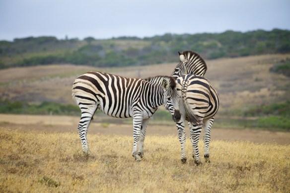 Zebras  (c) Allyson Scott