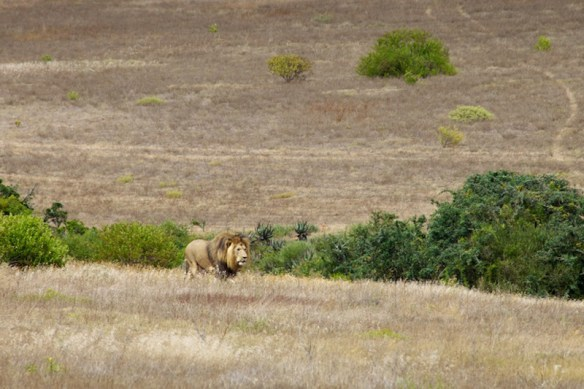 Lion trotting out of bushes