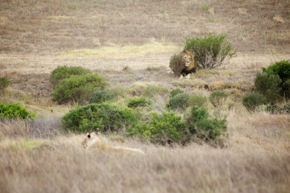 Lion and Lioness lying down