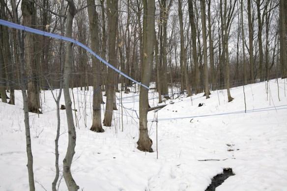 Sap lines running through sugar  maple forest