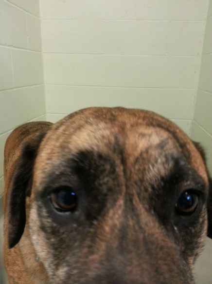Mabel the mastiff in her shelter cage