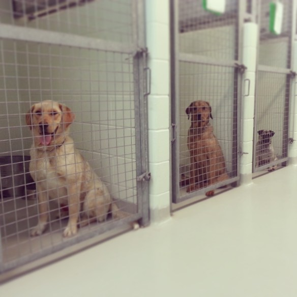Caged shelter dogs