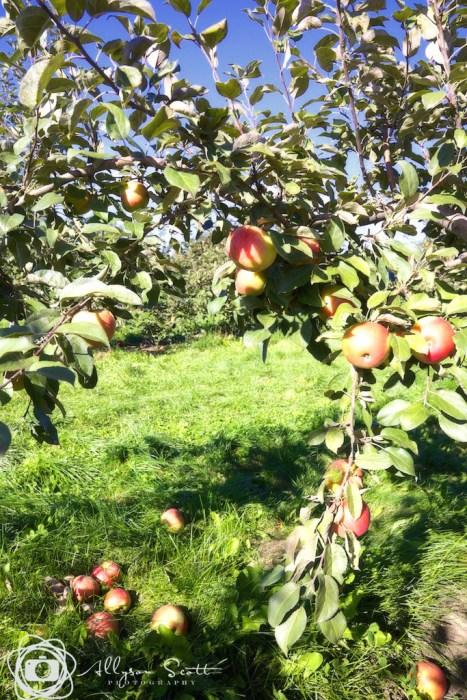 Honeycrisp apples with fallen fruit