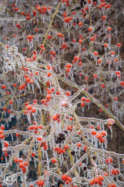 Ice-coated berries