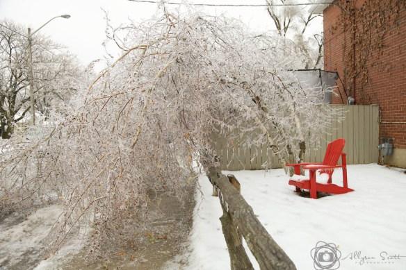 Birch trees bent under ice