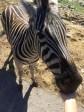 Feeding a Zebra at Natural Bridge Wildlife Ranch