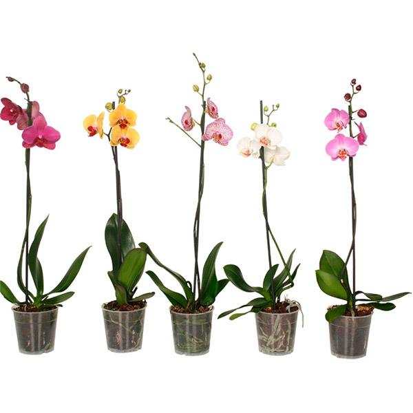 orquídea 1 vara Floristería Alma Floral Bogotá