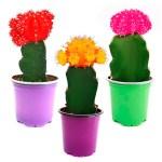 Cactus coreano 9 cm. Floristería ALMA FLORAL Bogotá