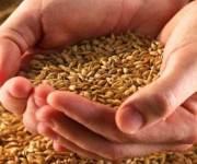 «الزراعة»: التغيرات المناخية لم تتلف المحاصيل والقمح لم يصدأ