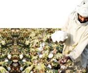 «تنظيم تجارة القطن»تعتزم إضافة 4 شركات لمظلتها