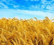 الحكومة : مخصصات شراء محصول القمح متوفرة.. وصرفها للفلاحين فور توريدهم