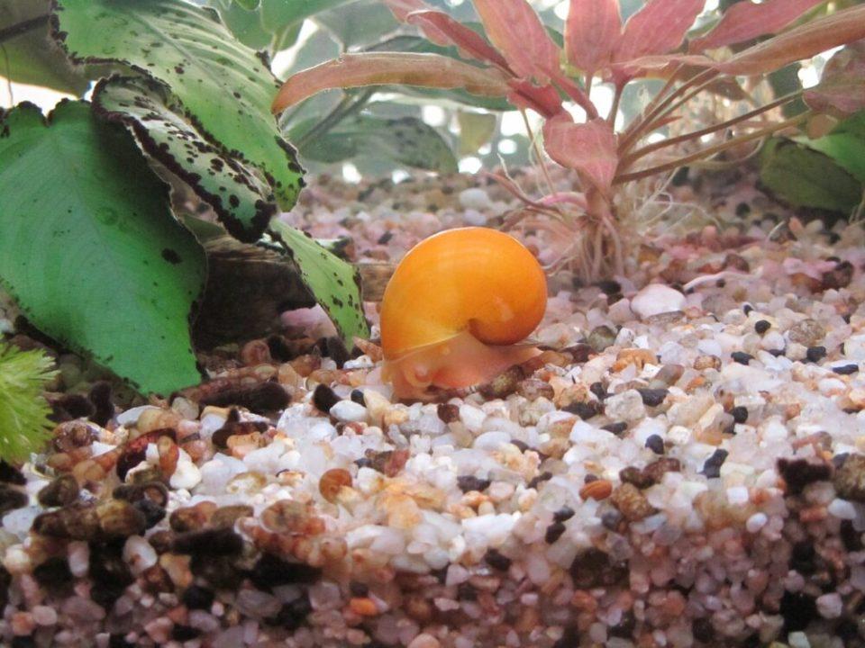 Beneficios de los caracoles en el acuario