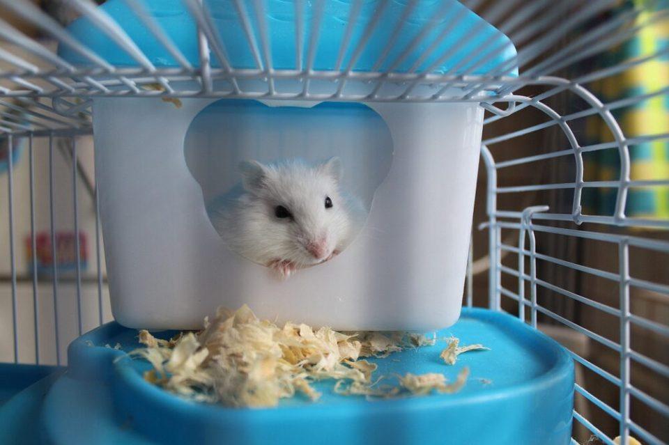 Mejores especies de hámster para tener en casa