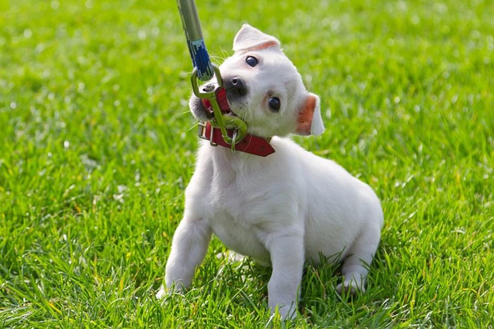 Acostumbrarle a aceptar la correa de paseo, clave para enseñar a tu perro a hacer sus necesidades fuera