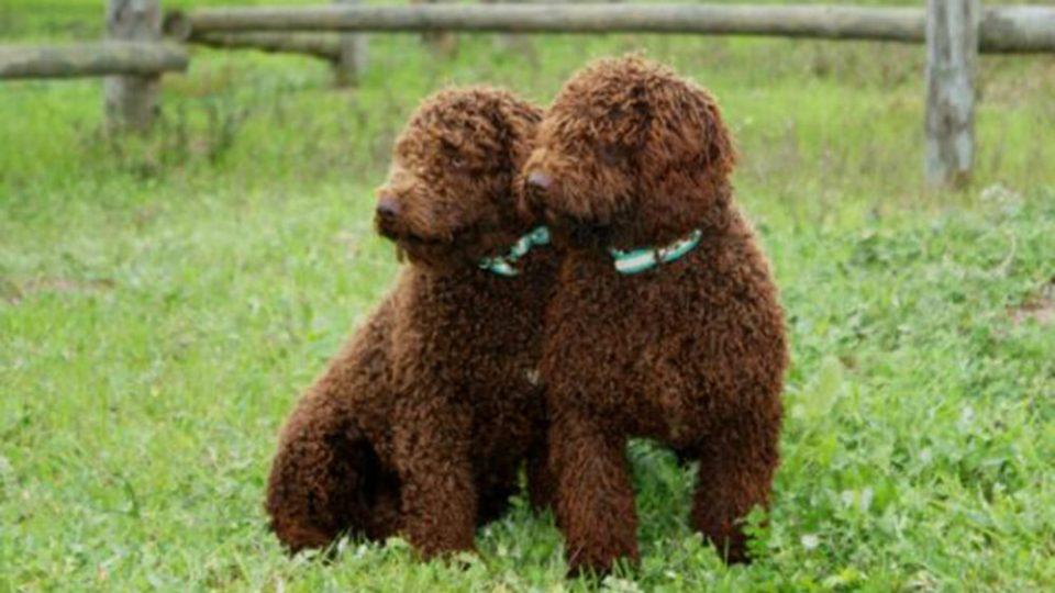 perro de agua español marrón