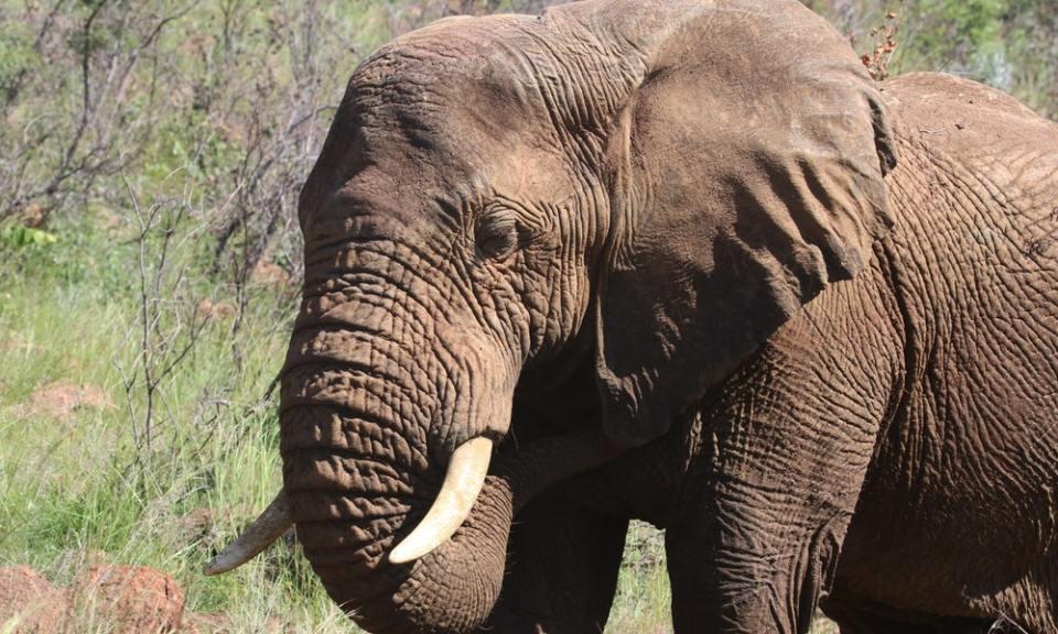 Elefante de Sumatra, otro de los  animales en peligro de extinción