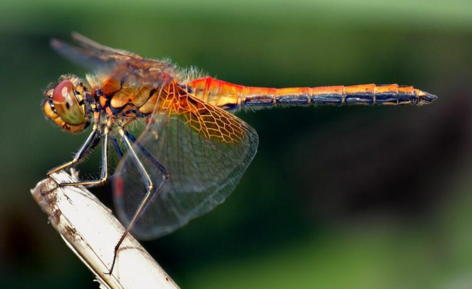 libélulas y mimetismo