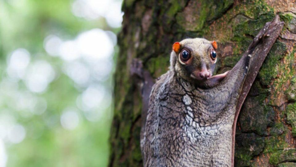 Lemur volador, uno de los animales más raros del mundo