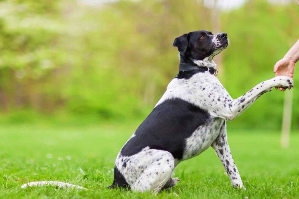 Enseñando a un perro a dar la patita