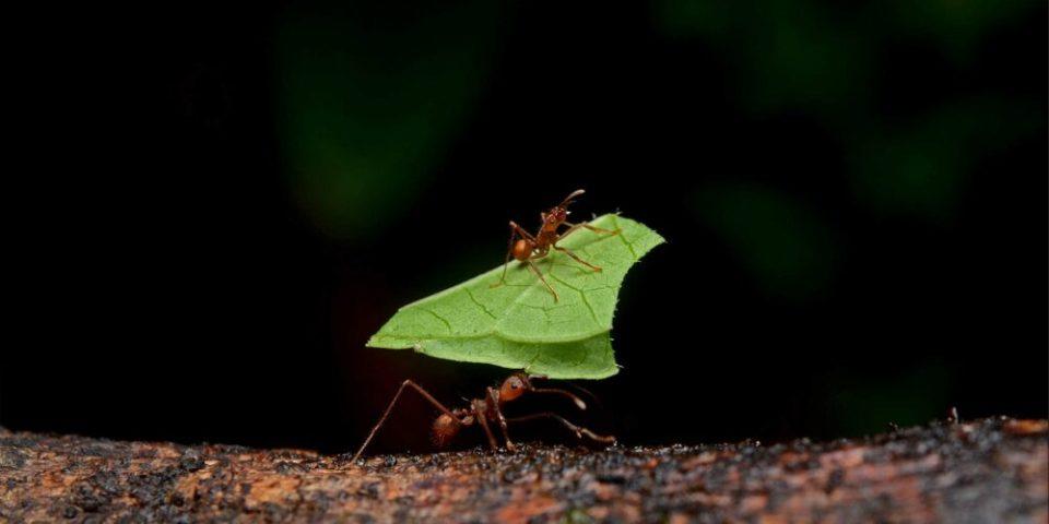Hormiga podadora