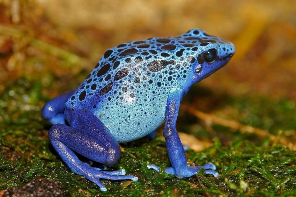 Rana dardo azul, una de las ranas más bonitas del mundo