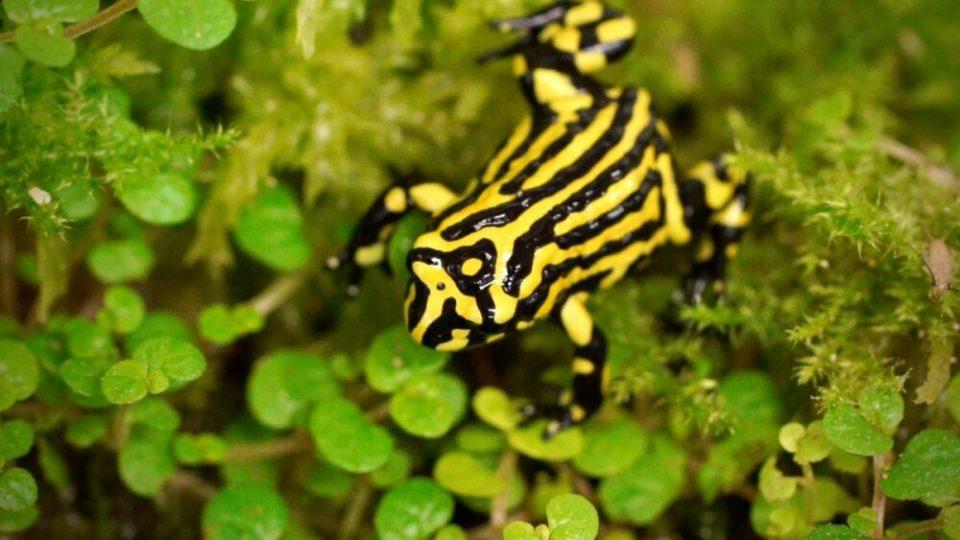 Rana corroboree