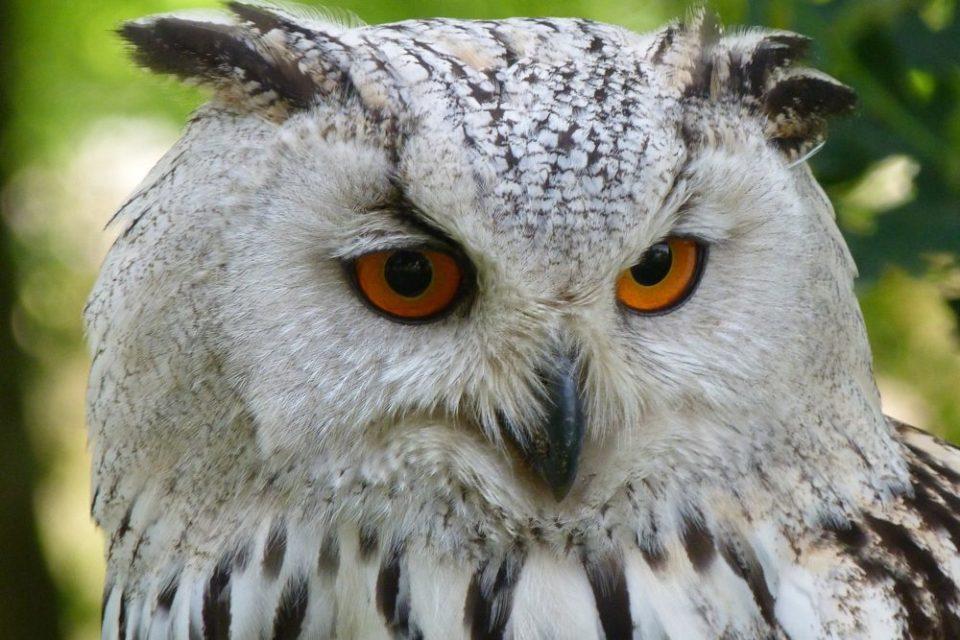 expresividad de los búhos - curiosidades sobre los búhos