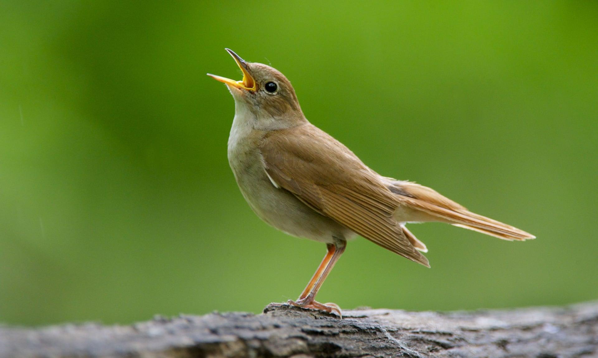 اسماء طيور صوتها جميل