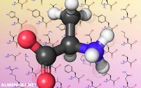 يتركب البروتين من سلسلة من الأحماض الأمينية يتم تصنيعها في