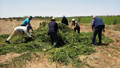 "Photo of ""أونسا"" يتلف حقول النعناع غير السليم في إطار برنامج المراقبة على هذه الزراعة"