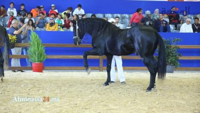 Photo of ربورطاج.. شاهد جمال الخيول العربية البربرية بمعرض الفرس بالجديدة