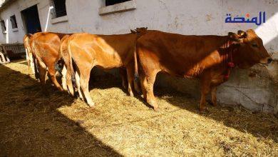Photo of شراء الضروبة .. إقبال ضعيف على الأبقار و الأثمنة منخفضة