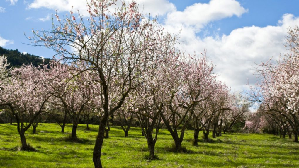 Marcona Almond Farm Spain