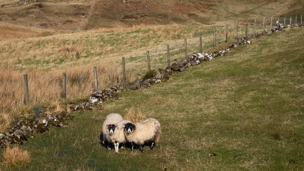 Sheep in Uig on the Isle of Skye, Scotland