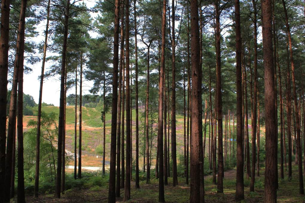 Bourne Wood in Farnham, Surrey in England Snow White and the Huntsman Filming Location