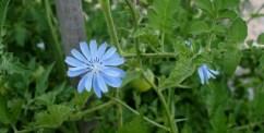 radicchio flower