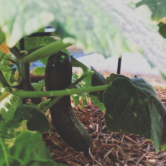 Hiding under the lower leaf canopy... Surprise cucumber!